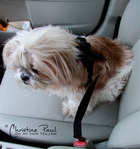 what size crate for shih tzu shih tzu car travel