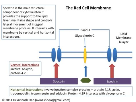 protein 4 1r the erythrocyte membrane all about blood