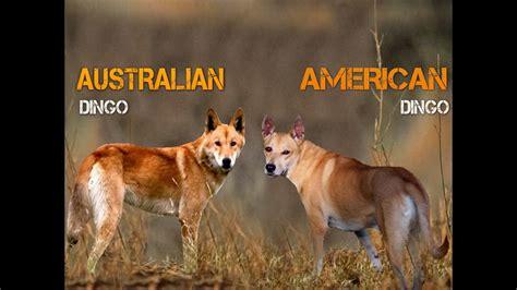 american dingo puppy australian dingo vs american dingo