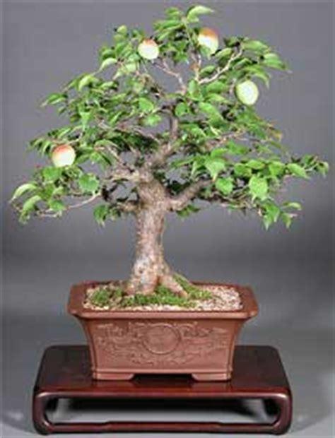 www bonsai haus de manzano malus spp bonsai