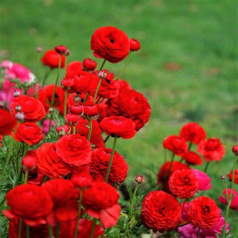 red ranunculus bulbs  sale easy  grow bulbs