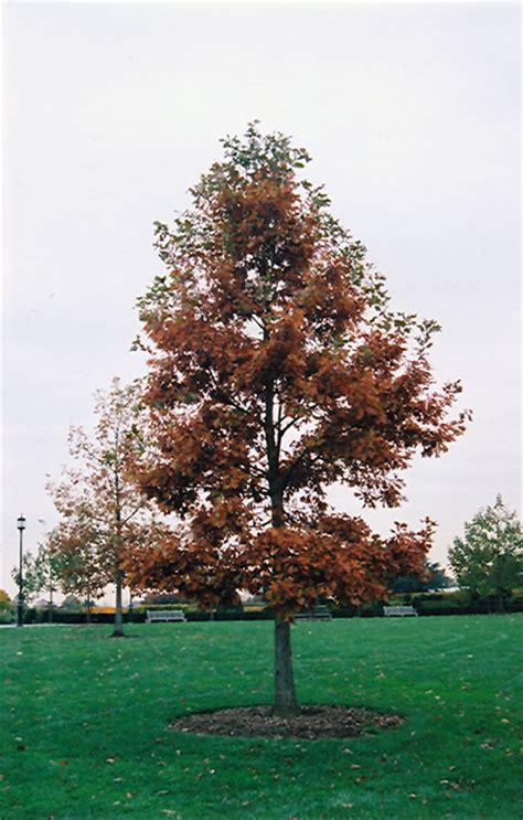 swamp white oak quercus bicolor  grand rapids wyoming