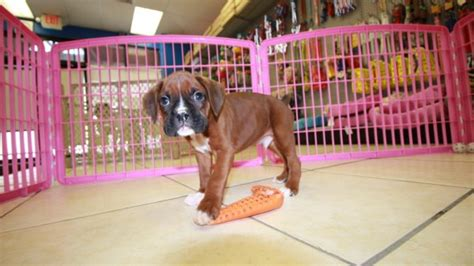 boxer puppies atlanta black mask boxer puppies for sale near atlanta at puppies for sale