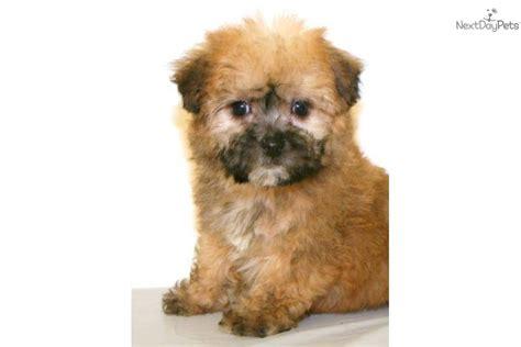 teddy cut yorkie poo teddy yorkie poo puppies teddy cut for yorkie poo hairstylegalleries