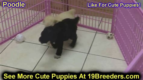 puppies for sale in fairbanks standard poodle puppies for sale in anchorage alaska ak fairbanks juneau
