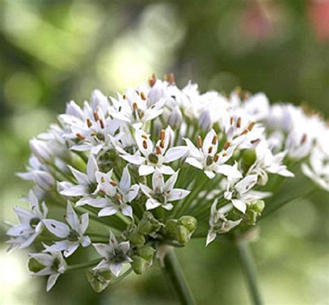 Jual Bibit Biji Bawang Daun bibit benih kucai putih jual tanaman hias