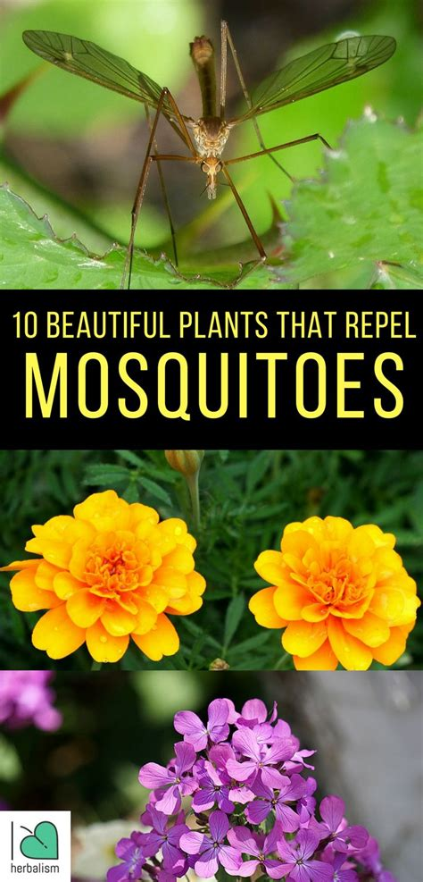 plants that keep away mosquitoes 17 best ideas about repel mosquitos on pinterest plants