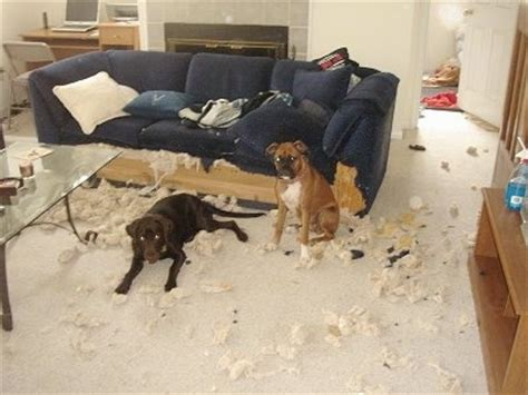 dog chewed couch can you believe it two boxers chewed up a couch you don