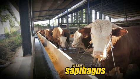 Jual Bibit Itik Tegal generasi pertama sapi persilangan unggul lahir di klaten sapibagus