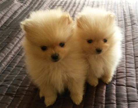 pomeranian puppies poms pomeranian puppies clasf