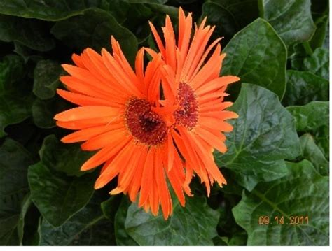 thinkin of home gerber daisy love daisy gerberdirt doctor howard garrett organic gardening