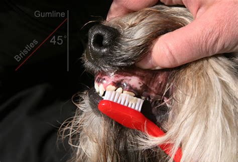 best way to clean dogs teeth dogs brushing teeth breeds picture