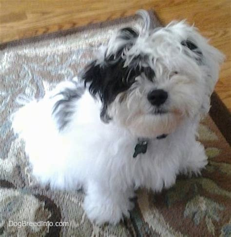 zuchon hair cuts zuchon shichon dog breed information and pictures