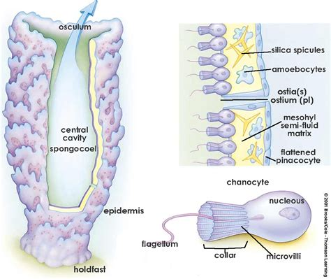 sponge diagram phylum porifera