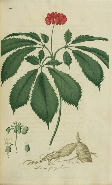 Ginseng China herbs for hair growth 5 important herbs to