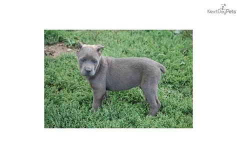 corso puppies for sale nc blue corso puppies for sale in nc