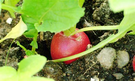 Radieschen Garten Pflanzen by Radieschen Pflanzen Scharfer Gem 252 Se Snack Aus Dem Garten