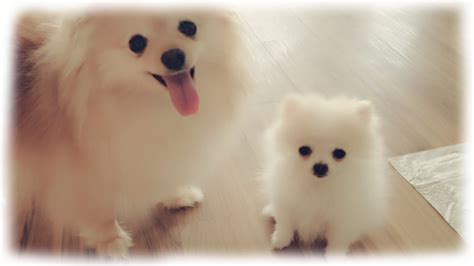 white micro teacup pomeranian puppy our tiny white micro teacup pomeranian puppy
