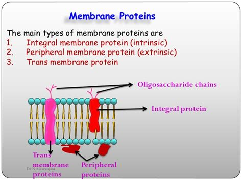 3 proteins in the cell membrane cell membrane