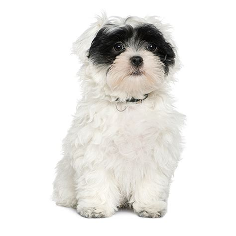 havanese size havanese see description and pictures of this breed dogsuniverse co uk