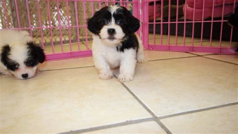 shih tzu puppies for sale in grand rapids michigan fantastic hava tzu puppies for sale atlanta havanese shih tzu breeders at