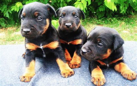 jagdterrier puppies for sale jagd terrier puppies breed information puppies for sale