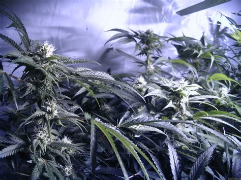Swetty Hydro strain gallery sweet pink grapefruit s1 alpine seeds pic 15111055458003039 by hydro