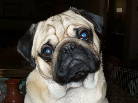akc pugs pug for sale by deborah fielding deborahs pugs american kennel club