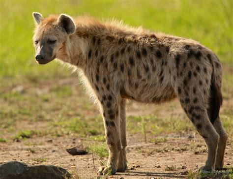 is a hyena a hyena pictures search