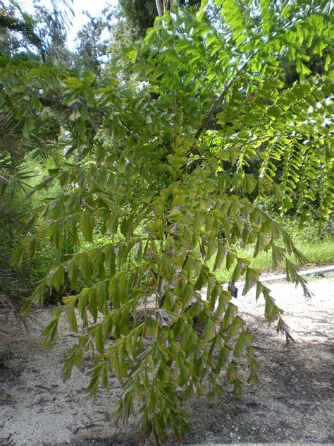 tree species palm tree species