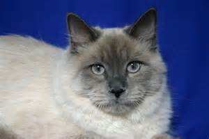 Low Shedding Cats by Low Shedding Low Energy Breeds Picture