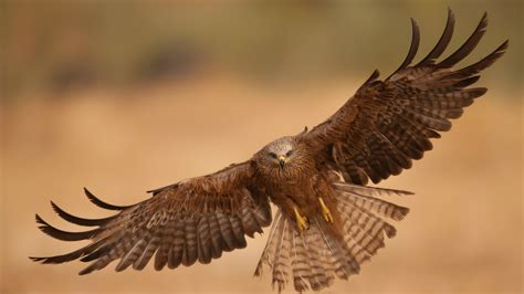 eagle tattoo wallpaper eagle wings download hd wallpapers