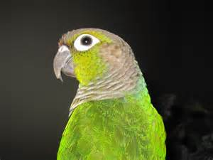 green cheeked conure green cheek conure birds pinterest