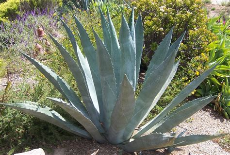 the 2 minute gardener photo century plant agave americana