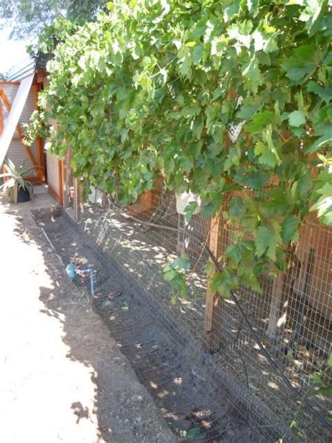 Backyard Chickens Grapes Vine Covered Chicken Run Vegetation And Gardens