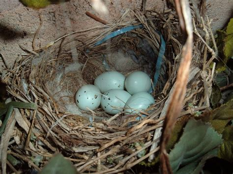 house finch nest house finch eggs