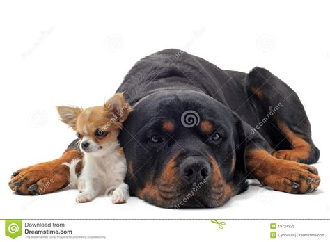 rottweiler chihuahua puppies rottweiler and puppy chihuahua royalty free stock photo image 19724925