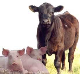 imagenes de animales transgenicos astrology christians cows pigs and planting by the