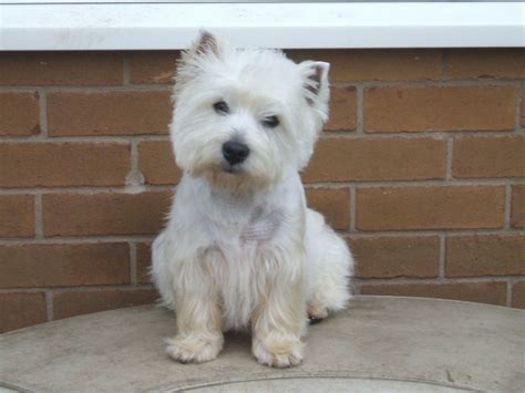 westie breed westie stud dogs doncaster south pets4homes