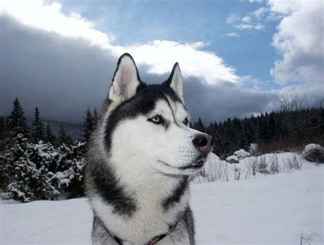 alaskan husky alaskan husky breed info and care