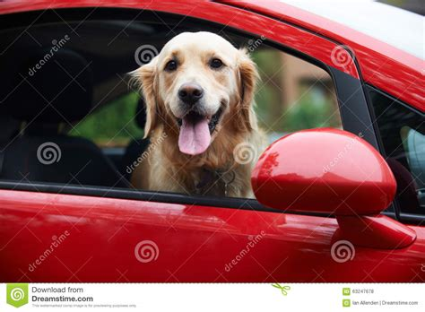 best looking golden retriever golden retriever looking out of car window stock photo image 63247678