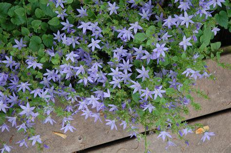 siberian bellflower audrey s plantmania