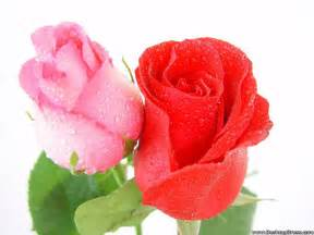 Pink And Red Roses Desktop Wallpapers 187 Flowers Backgrounds 187 Pink And Red Rose 187 Www Desktopdress Com