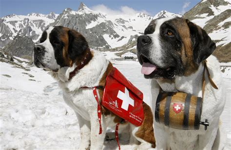 st bernard puppies rescue not just for swiss urged to stop cats