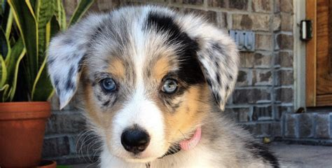 yorkie dalmation mix 19 gorgeous corgi mixes that are almost to be real