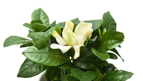 symbolic meaning  gardenia flowers   wished