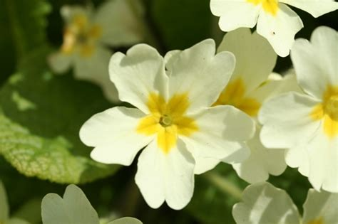 flowers for flower lovers primrose flowers pictures