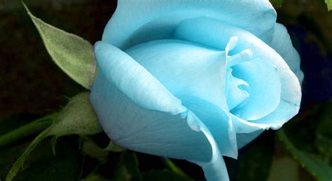 wallpaper rose flower beauty mysterious beauty of blue roses black background