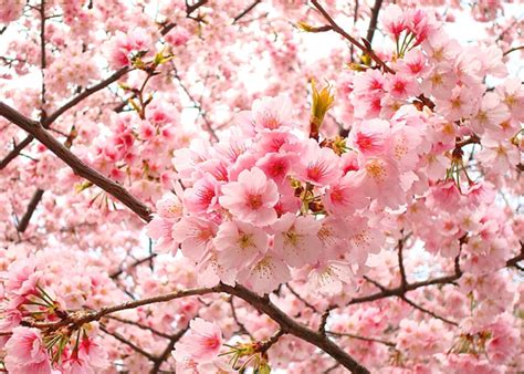sakura flowers quotes for cherry blossoms life with tess
