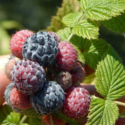 Tastes Like Raspberry by Mysore Raspberries Taste Bland The Survival Gardener